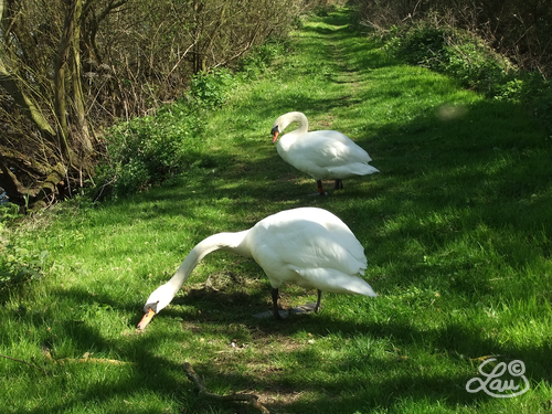 Swans on path
